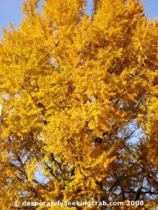 Beautiful Mature Ginkgo in Washington D.C.