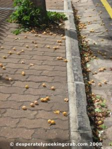 Fresh Fallen Ginkgo