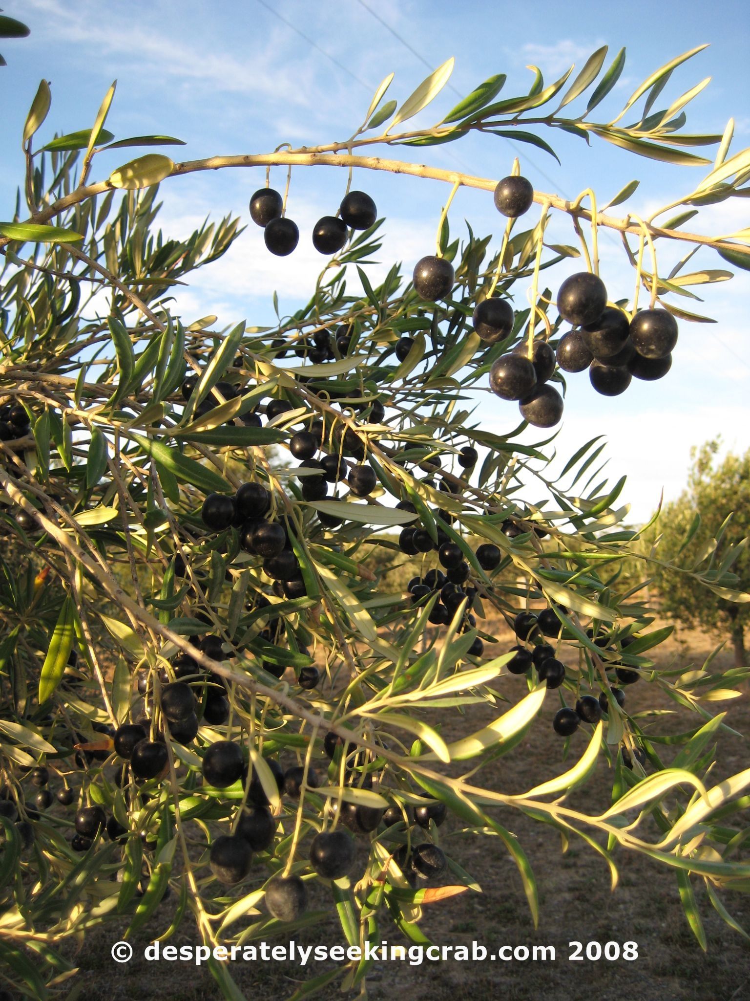 Foraging Wild Olives Desperately Seeking Crab
