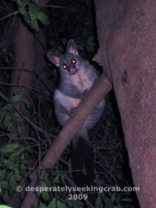 Australian Ring-tailed Possum